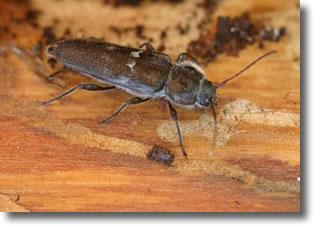 Accueil france capricornes for Insecte du bois maison